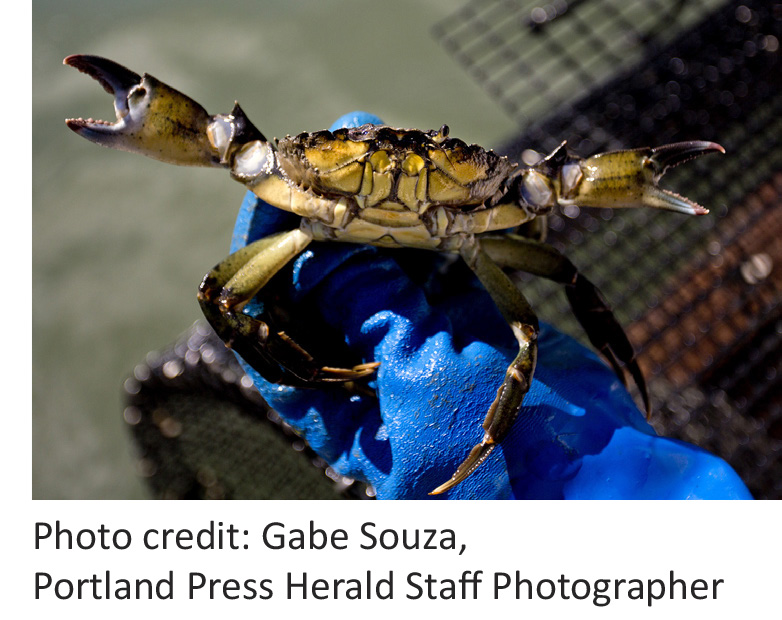 Green crab threat to Maine's clamming industry