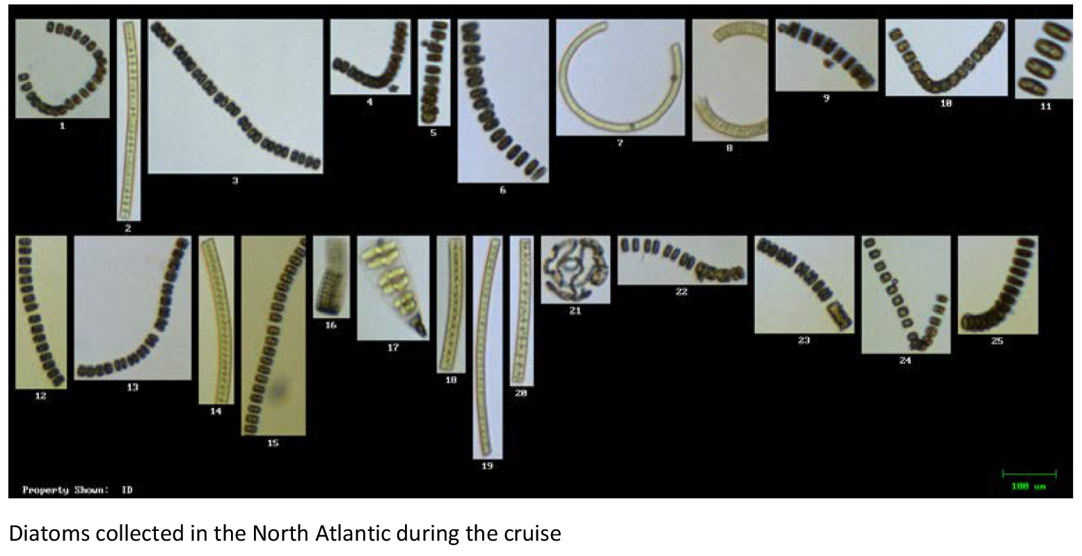 Diatoms_collected_in_the_North_Atlantic