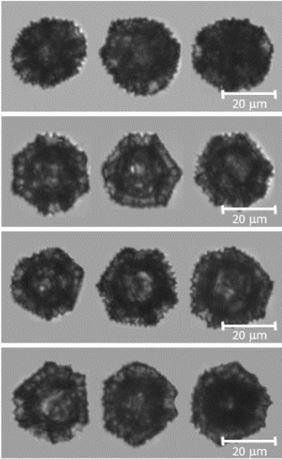 Dandelion sporopollenin exine capsule FLowCam