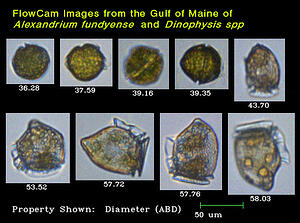 FlowCam Images from the Gulf of Maine of Alexandrium fundyense and Dinophysis spp