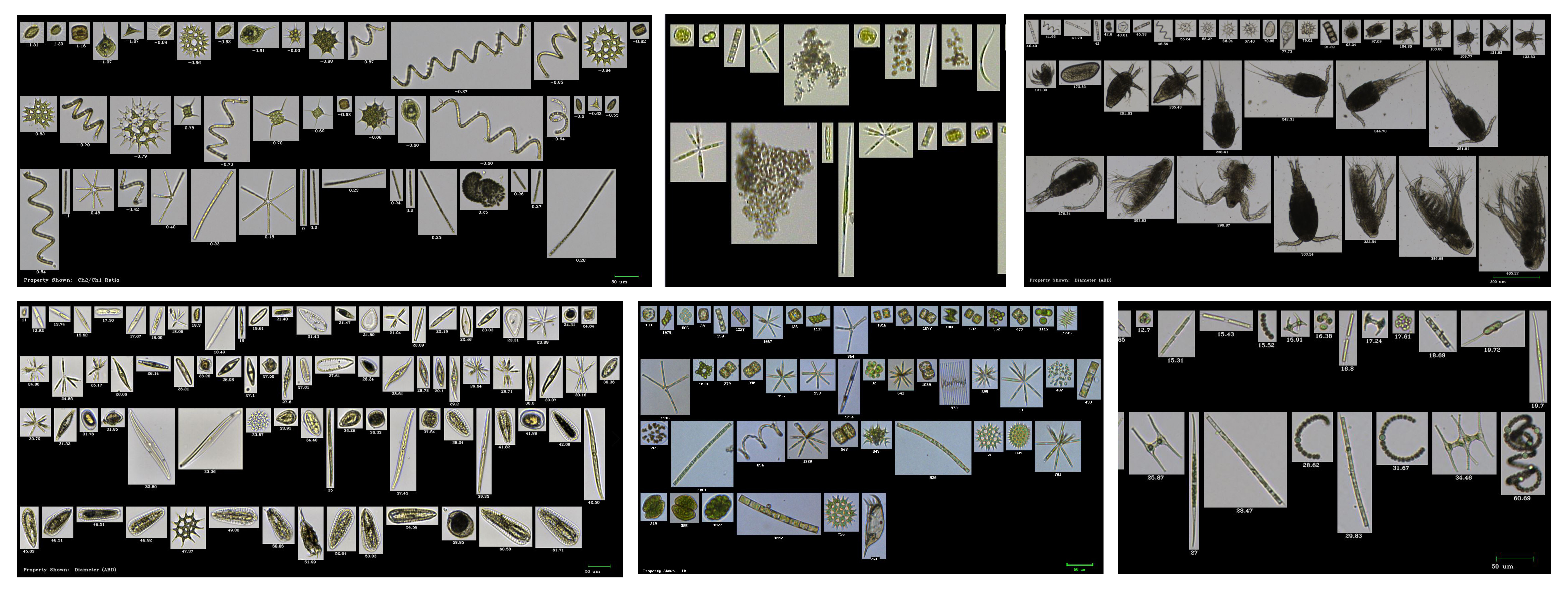 Freshwater Organisms FlowCam Collage