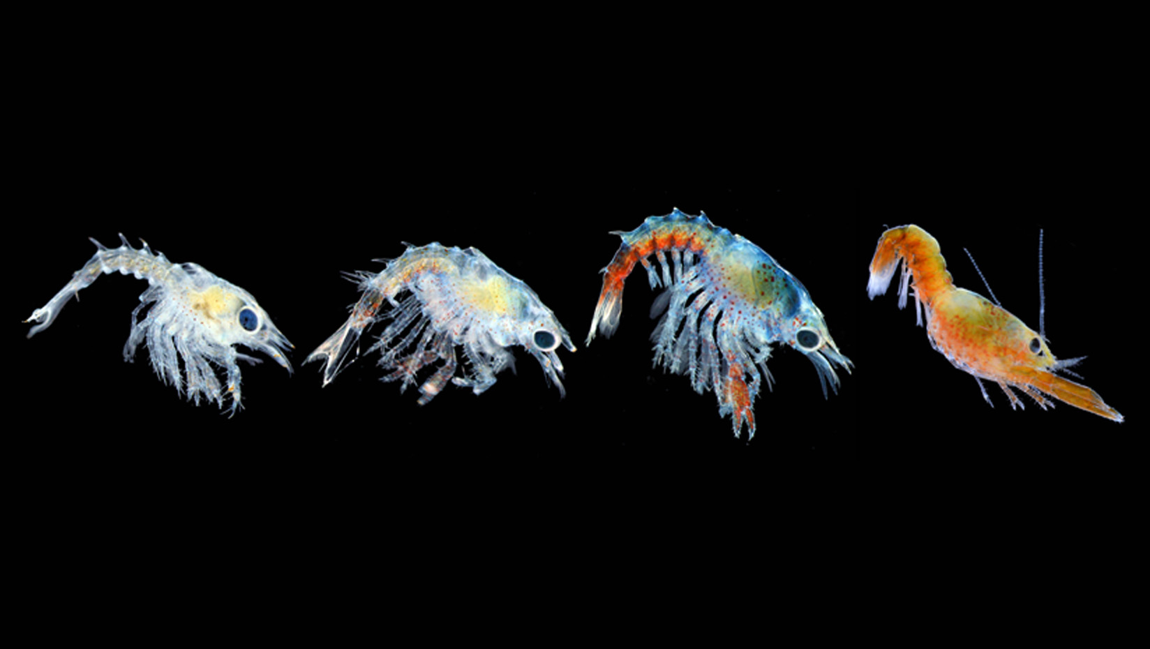 lobster larvae jessica waller