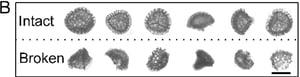 Lycopodium Sporopollenen cropped