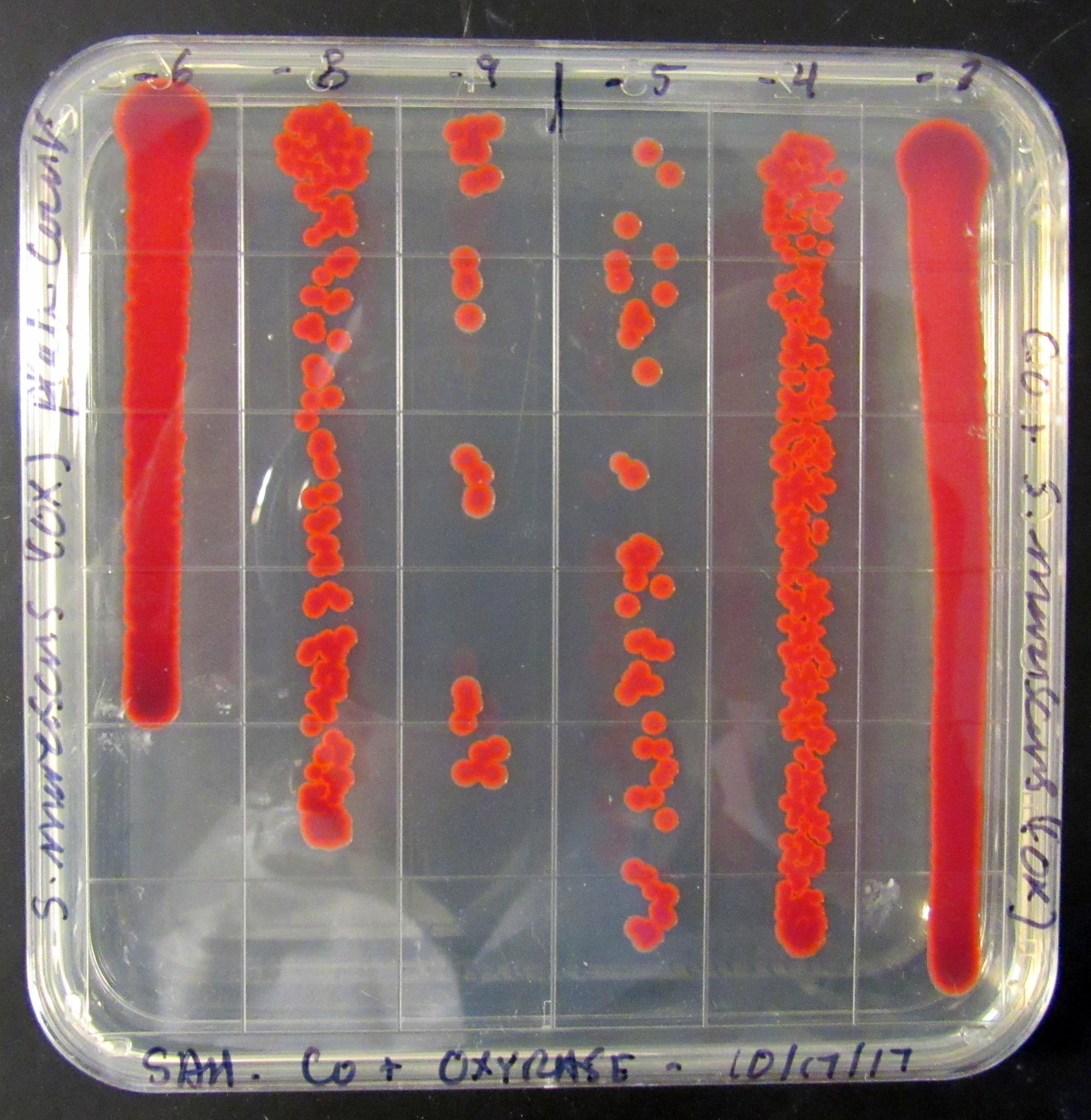 Serratia marcescens Square Plate