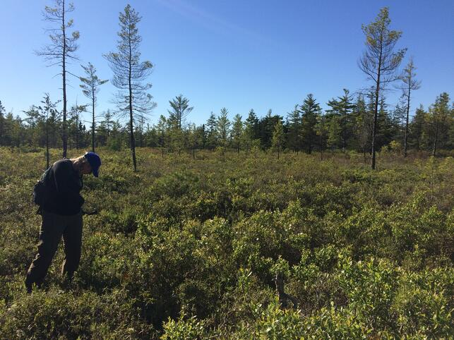 McGrew sampling pitcher plants at the Saco Heath Preserve during FlowCam training