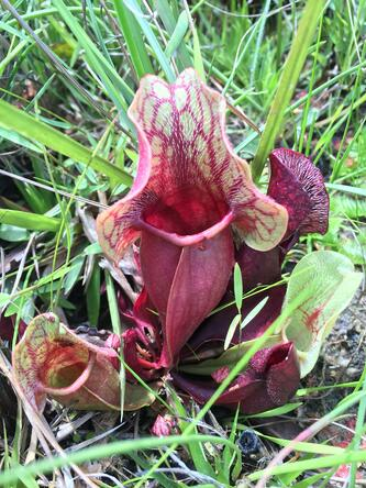 healthy red pitcher plant